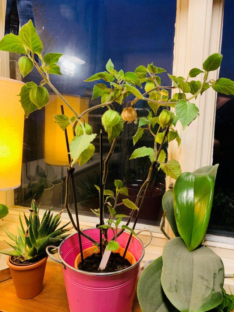 physalisplanta, physalis planta, Physalis peruviana, kapkrusbär,